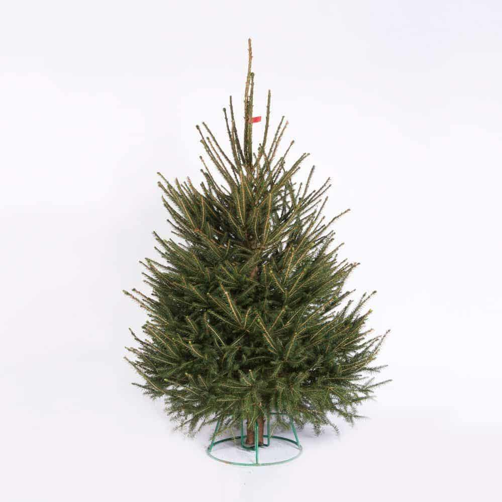 rødgran juletræ