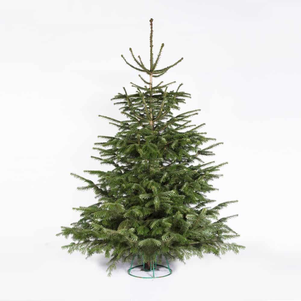 juletræ Nordmann